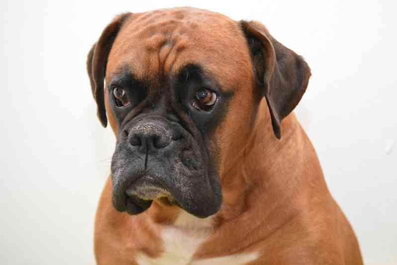 Raza de perro Bóxer