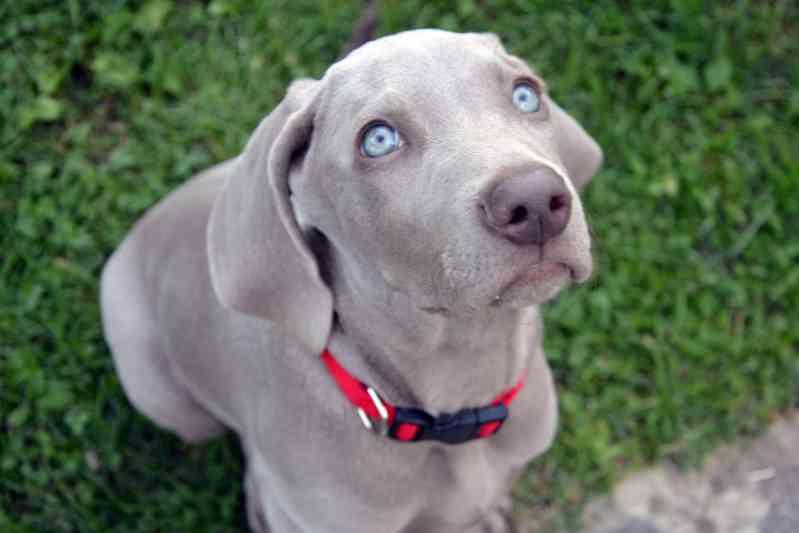 Raza de perro Braco de Weimar