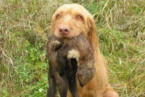Raza de perro Braco Húngaro