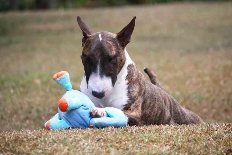 Raza de perro Bull Terrier