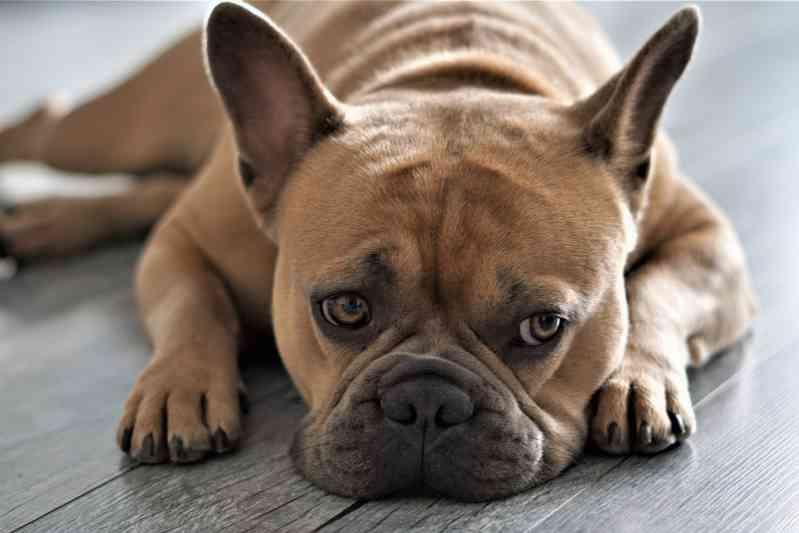 Raza de perro Bulldog Francés