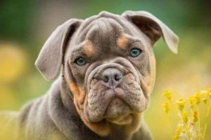 Raza de perro Bulldog Inglés