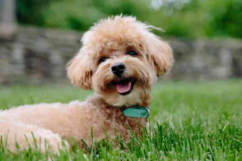 Raza de perro Caniche