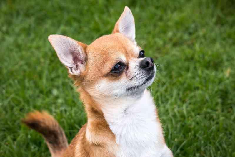 Raza de perro Chihuahua