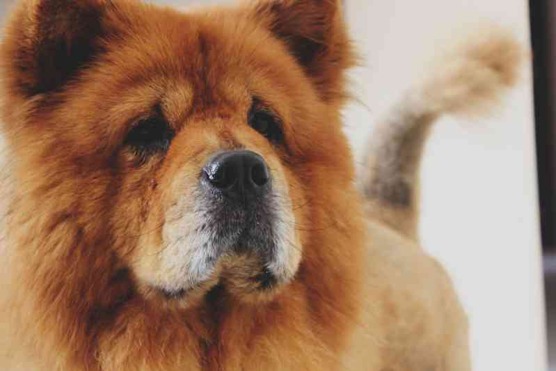 Raza de perro Chow Chow