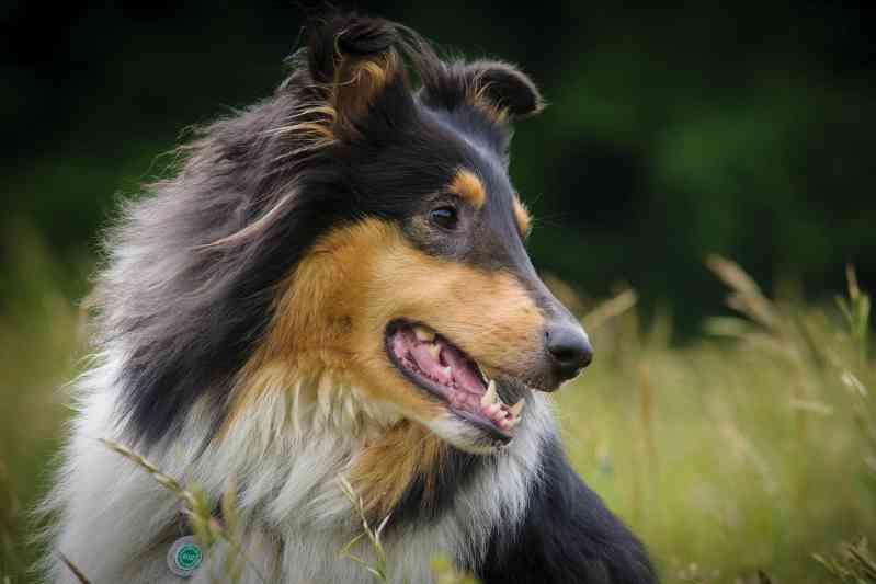 Raza de perro Collie