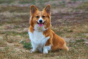 Raza de perro Corgi Galés de Pembroke