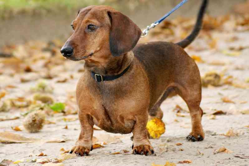 Raza de perro Dachshund Perro Salchicha