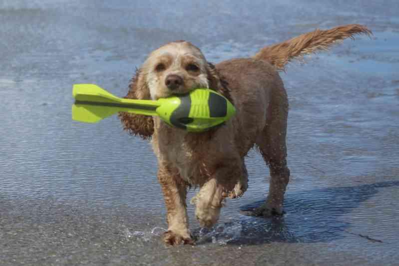 Raza Perro de Agua Americano