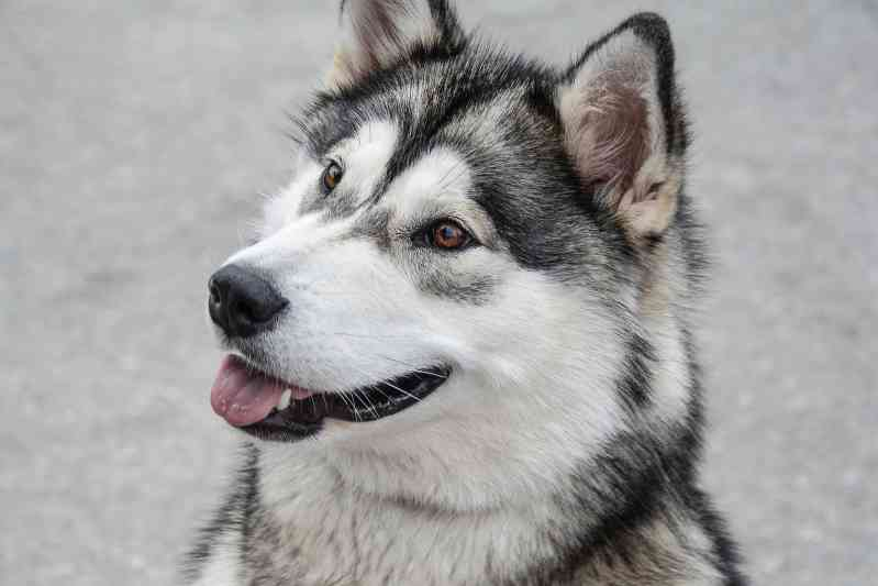 Raza perro Malamute de Alaska